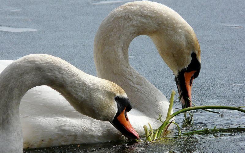 birds wildlife swans wallpaper