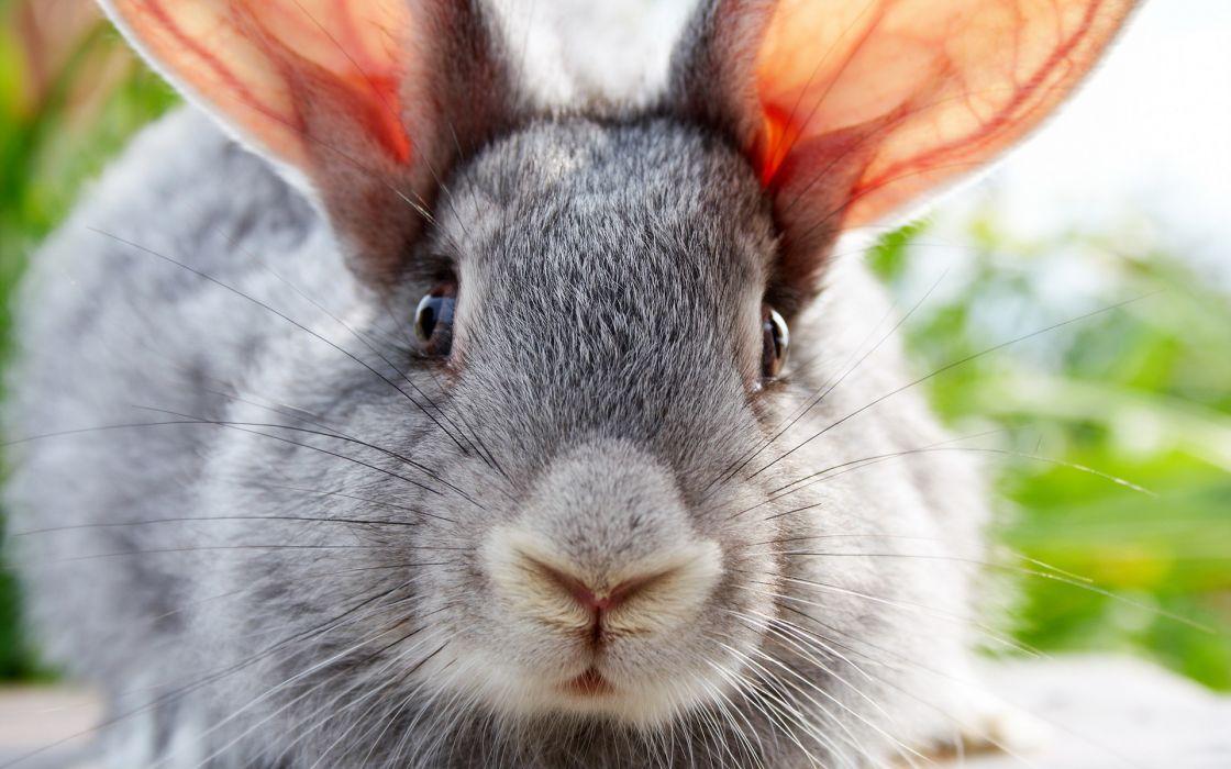 animals rabbits wallpaper