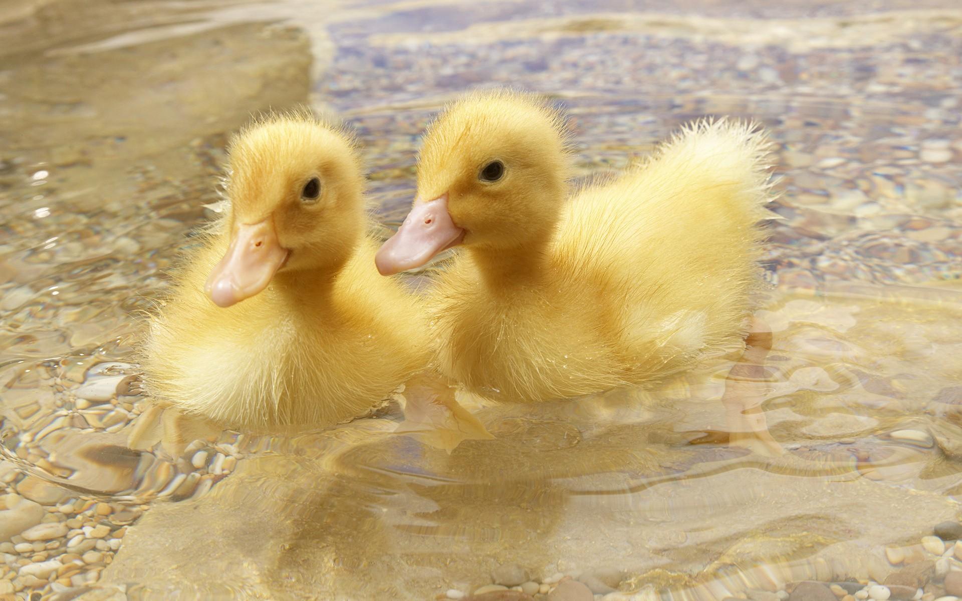 Ducks Duckling Baby Birds Wallpaper