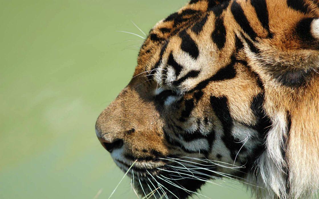 nature animals tigers wallpaper