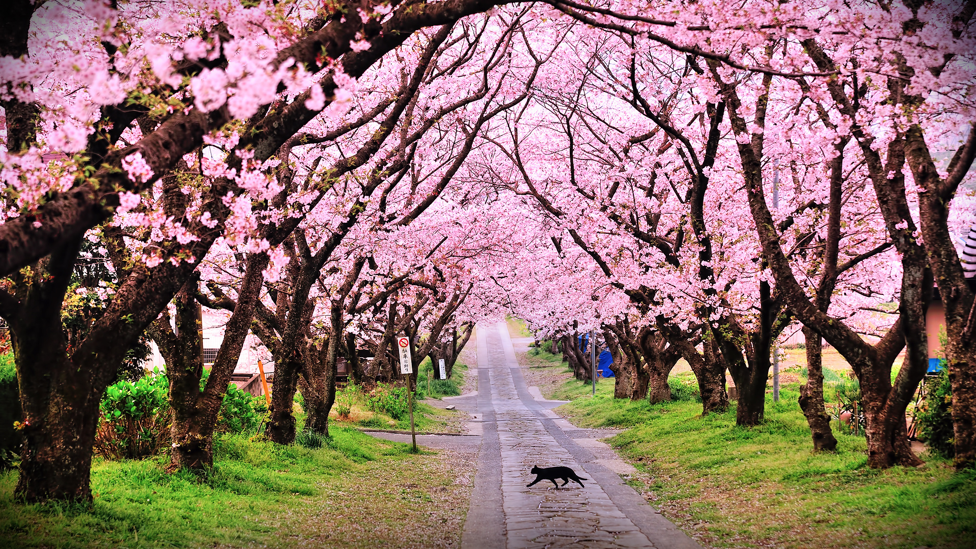 Tree trees blossom blossoms cat cats pink mood wallpaper Cherry blossom pictures