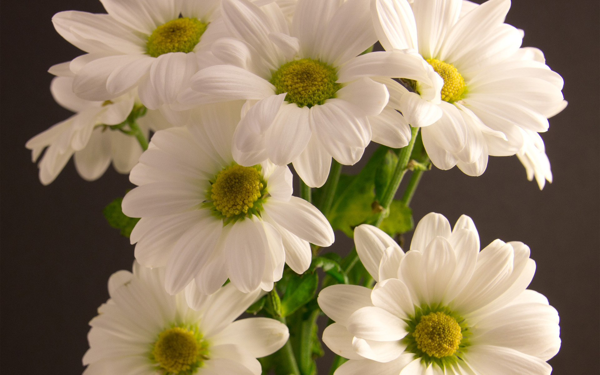 Bouquet chrysanthemum white flower wallpaper | 1920x1200 ...
