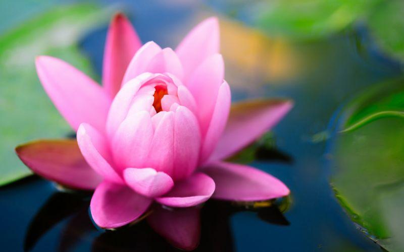 lily flower water wallpaper
