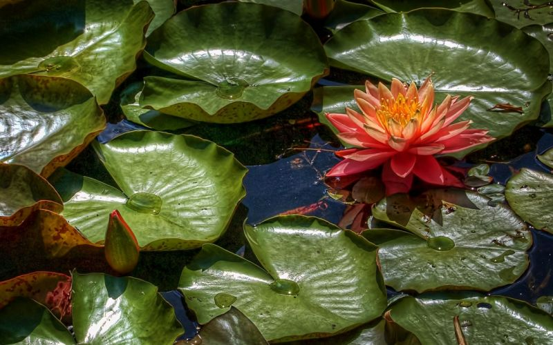lily leaves water wallpaper