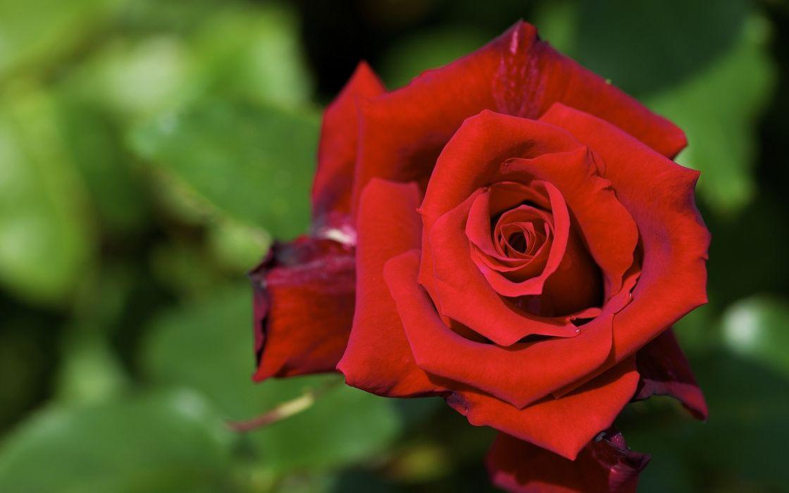 rose roses flower macro wallpaper