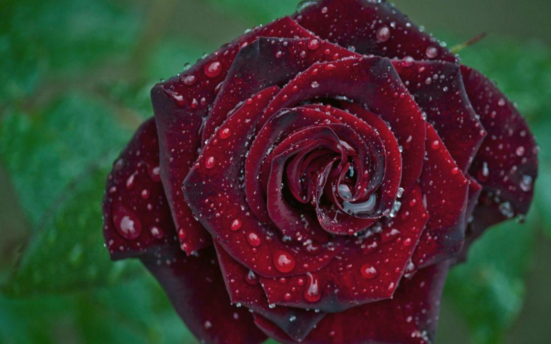 rose bud drops macro wallpaper