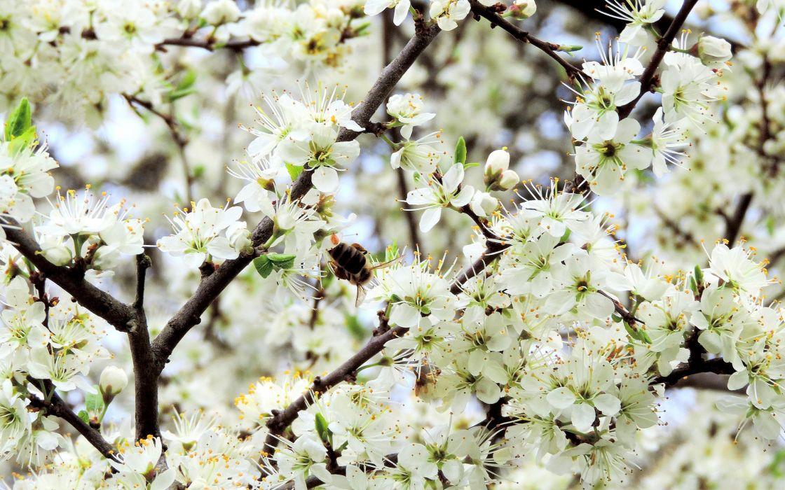 spring flowers apple blossom blossoms wallpaper