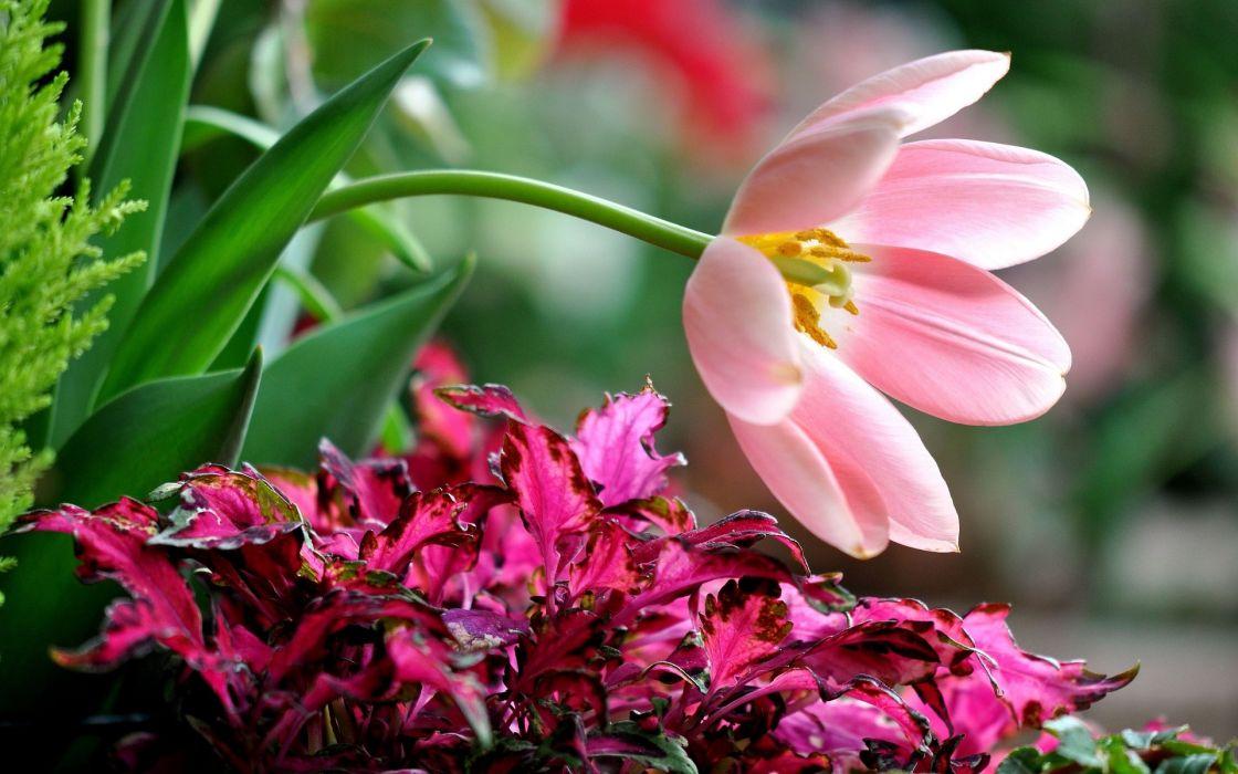 tulip petals wallpaper