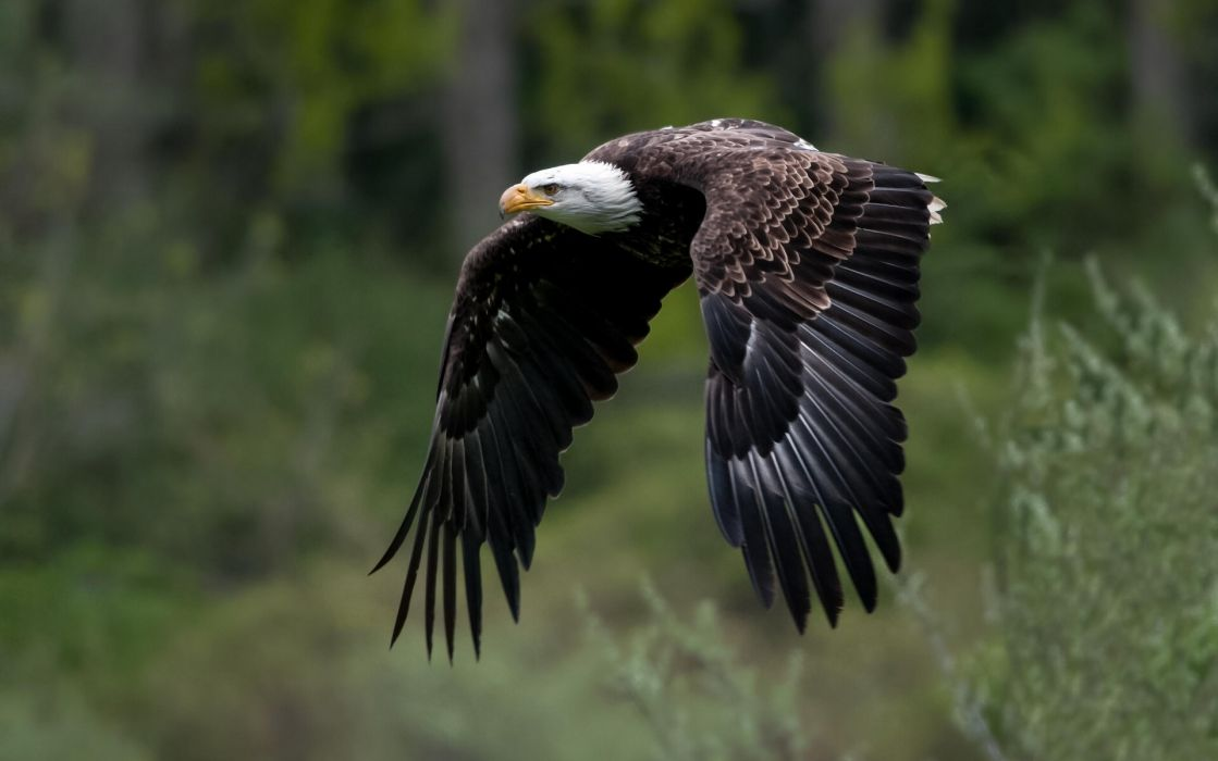 Bald Eagle wings flight wallpaper