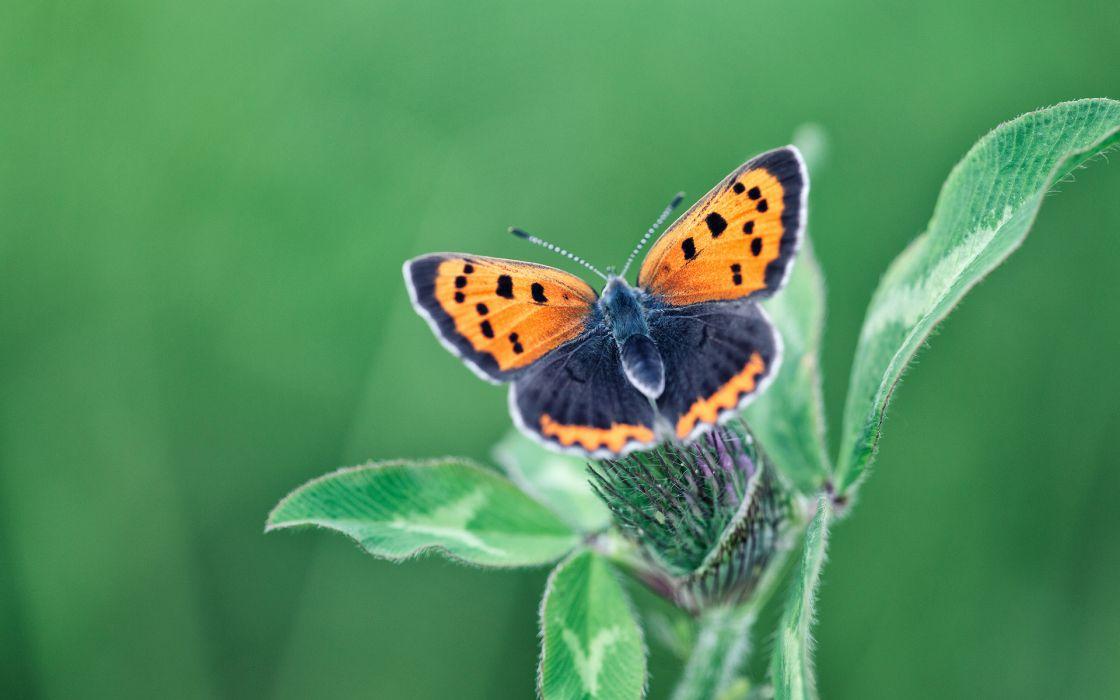 Butterfly Macro Green wallpaper