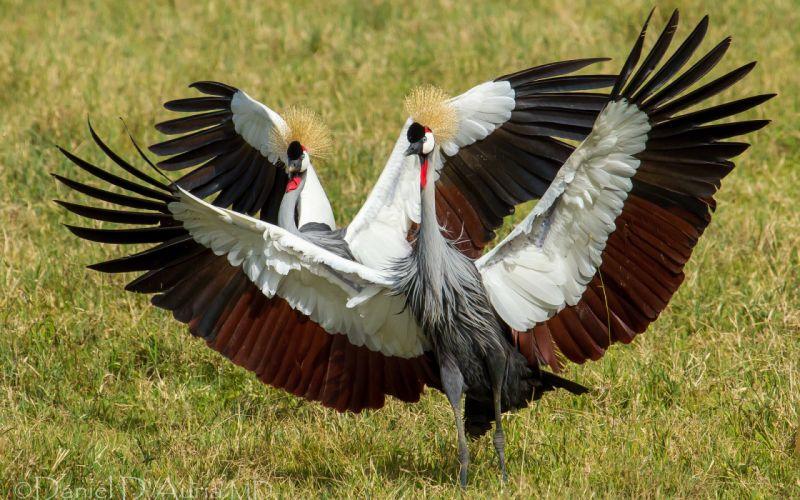 crowned crane cranes dance birds wallpaper