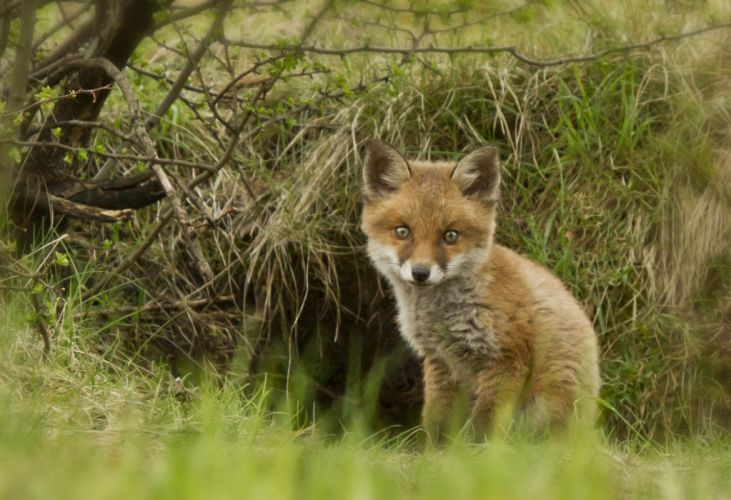 fox cub foxes wallpaper