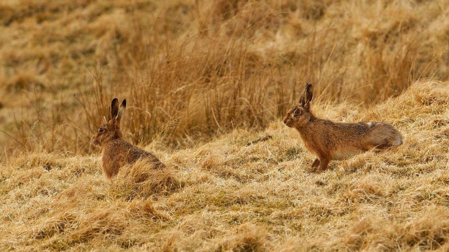 rabbits grass rabbit wallpaper