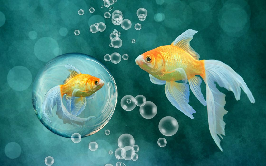 fish bubbles gold goldfish underwater bokeh wallpaper