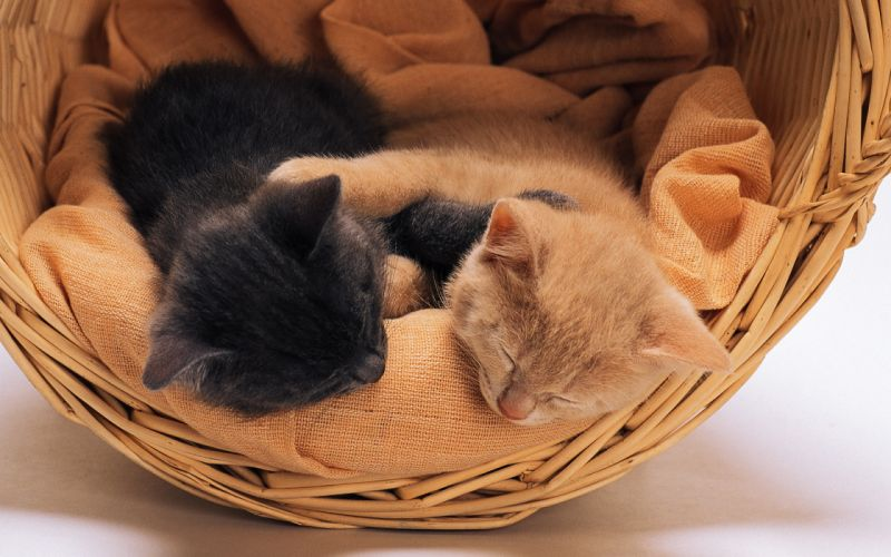 tow cats sleep wallpaper