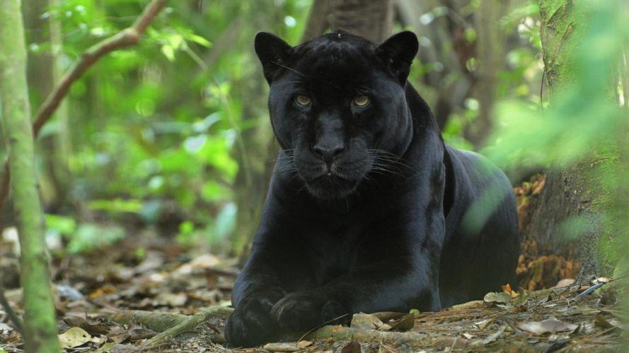 Panther wallpaper