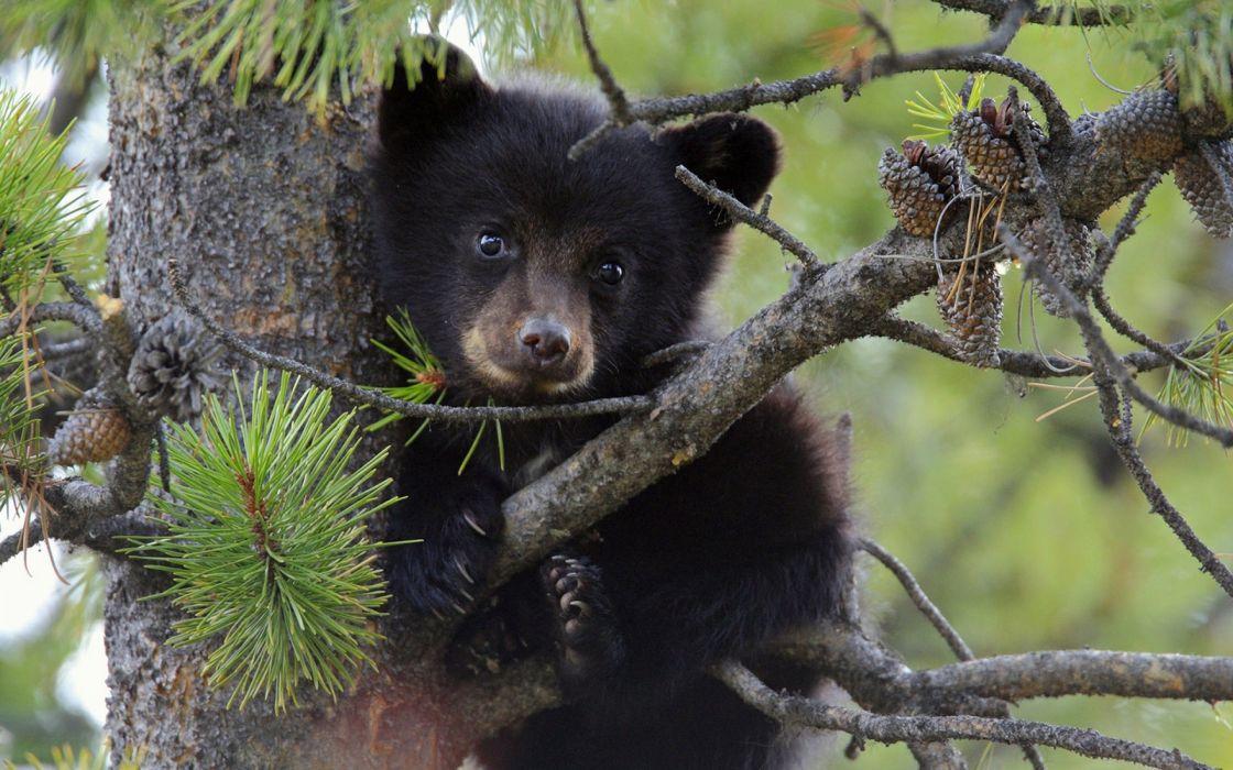Baby Bear wallpaper