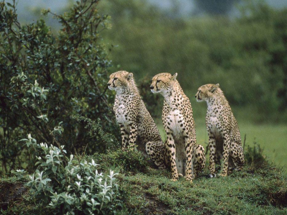 Cheetah       g wallpaper