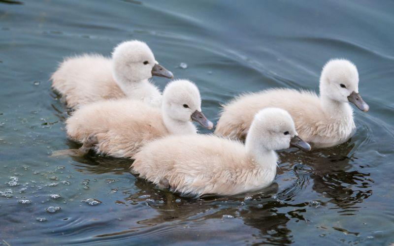 duck ducks chick chicks cute wallpaper
