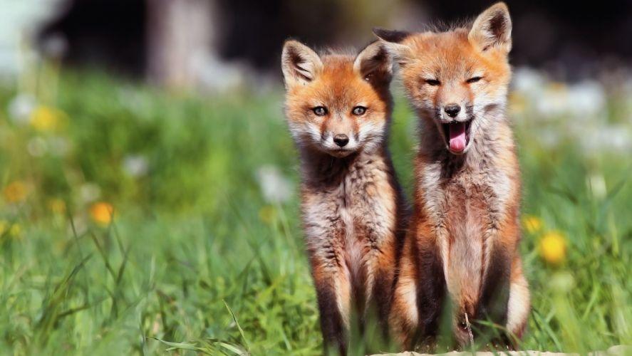 foxes fox wallpaper