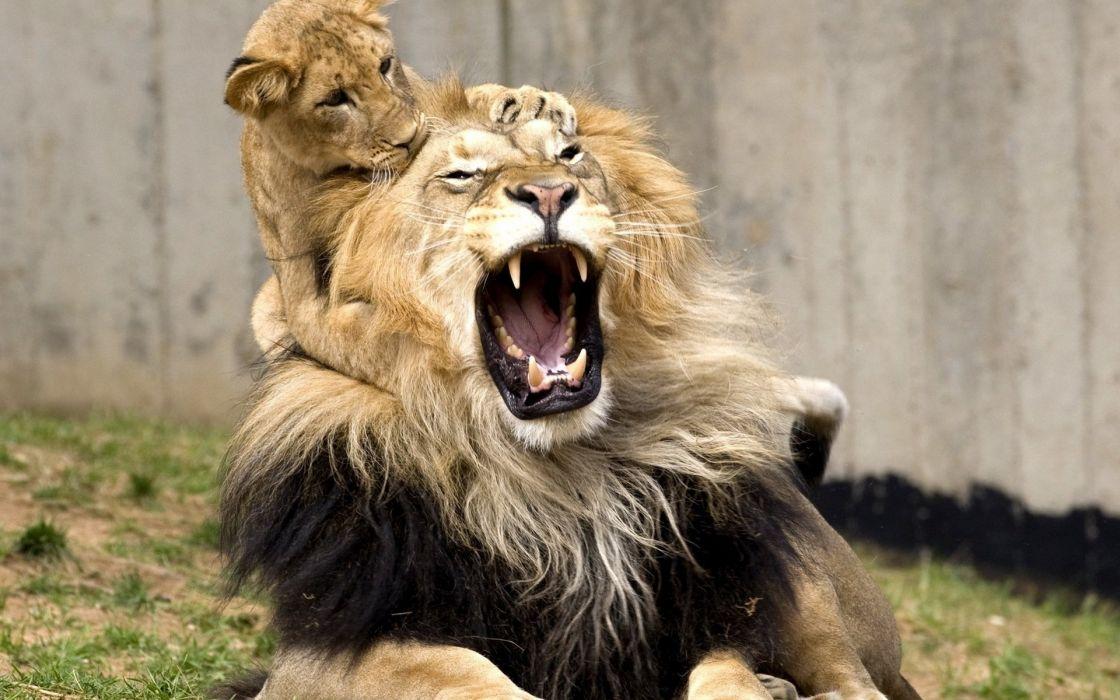 lion lion cub cubs wallpaper