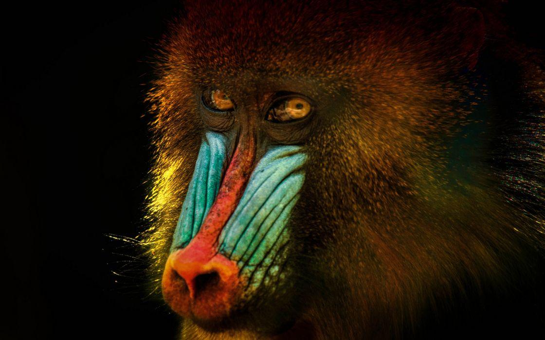 Mandrill Face monkey wallpaper