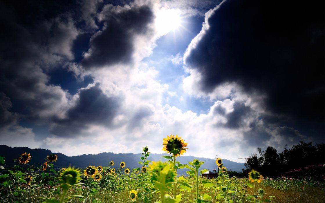 Sunflower Flower Clouds Sunlight wallpaper