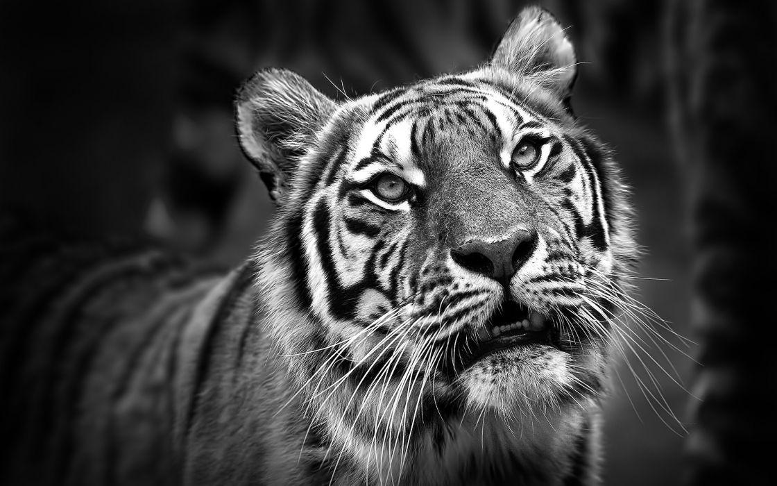 tiger tigers b-w wallpaper