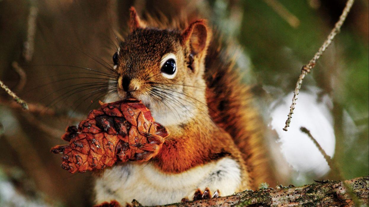 Squirrel wallpaper
