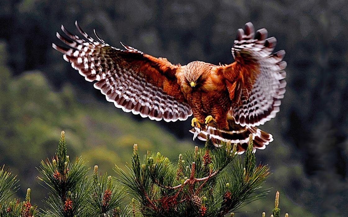 Hawk wallpaper