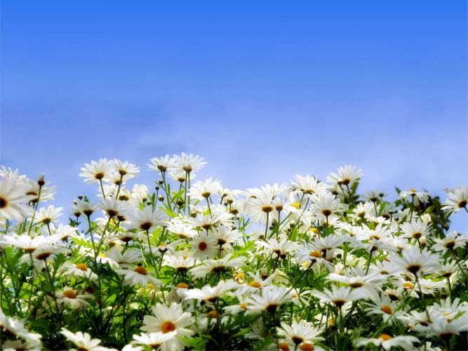 Camomiles Flowers wallpaper