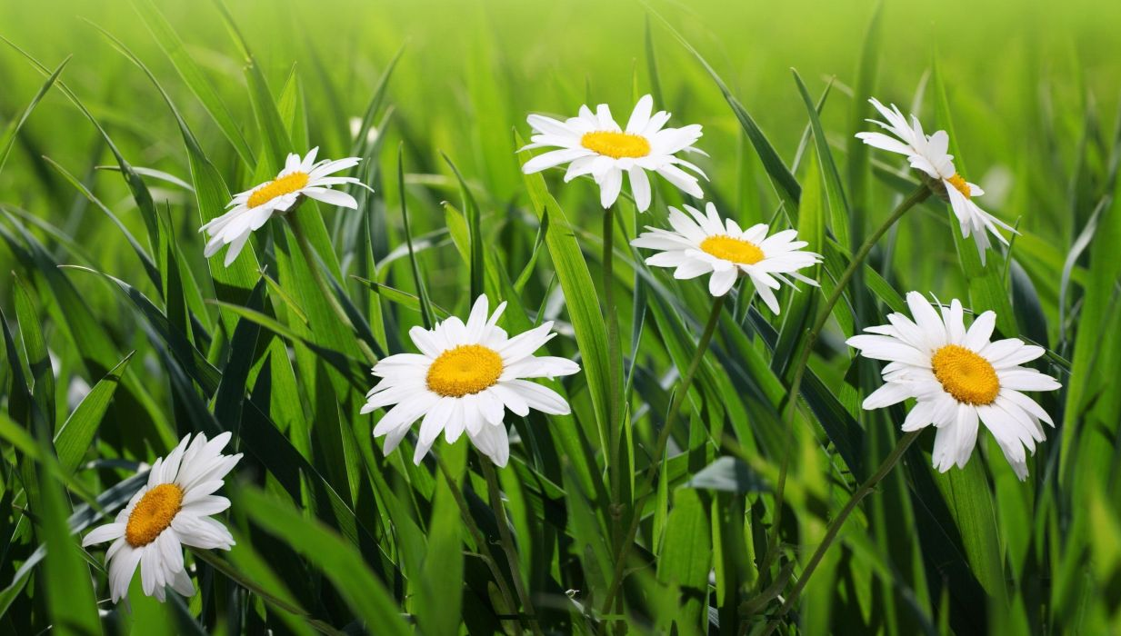 Camomiles Grass Flowers wallpaper