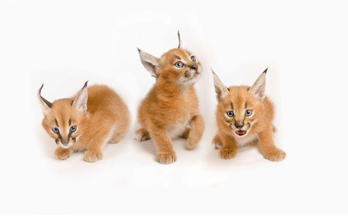 Caracal Cat White Cub Kitten wallpaper