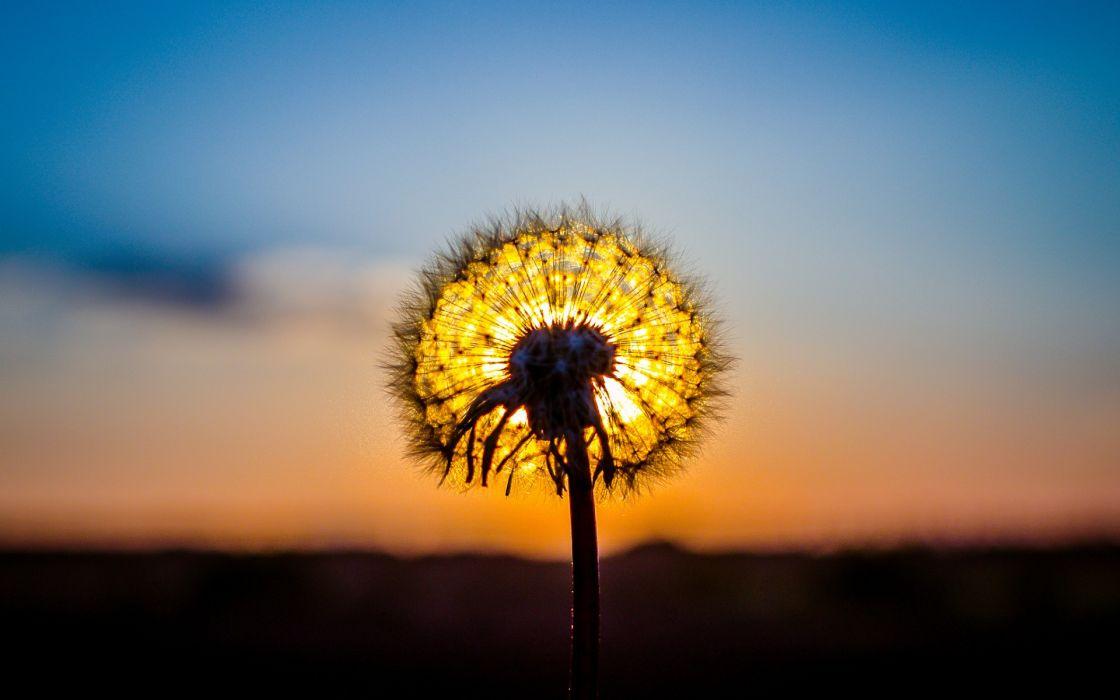 dandelion plant sun sunset nature macro wallpaper