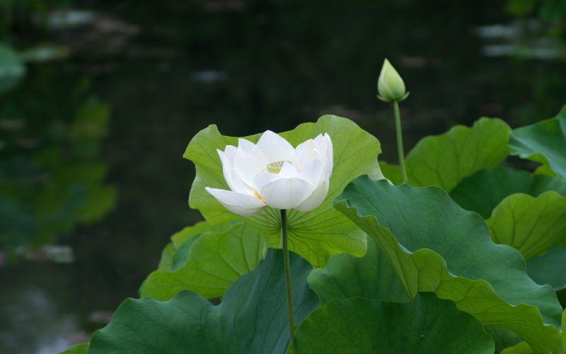 lotus white pond water lily wallpaper