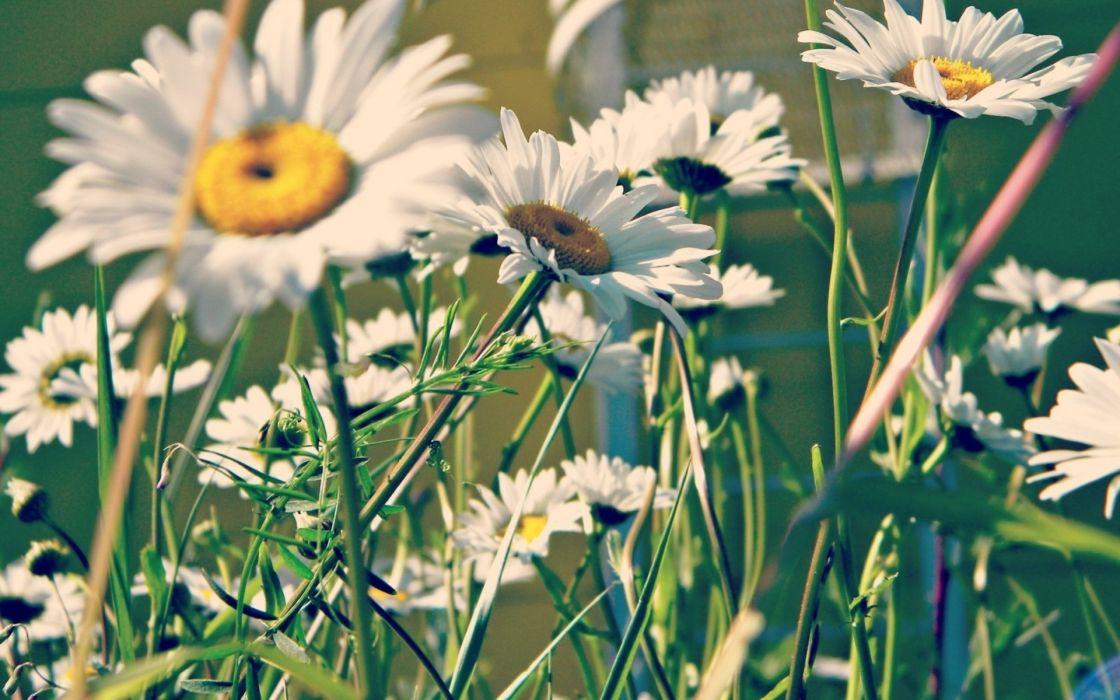 petals of greens chamomile summer wallpaper