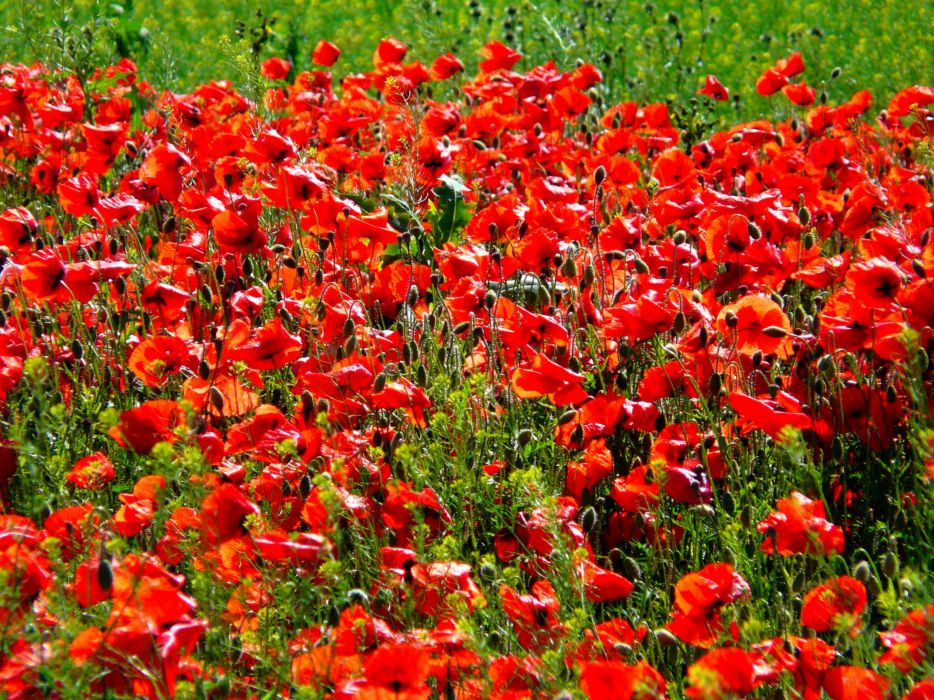 Poppies Red Flowers    d wallpaper