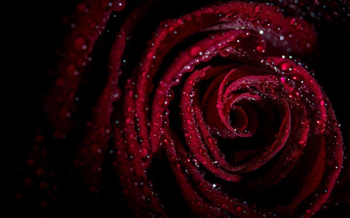rose drops petals wallpaper