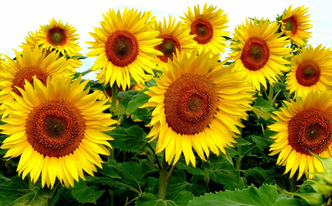 Sunflowers Flowers wallpaper