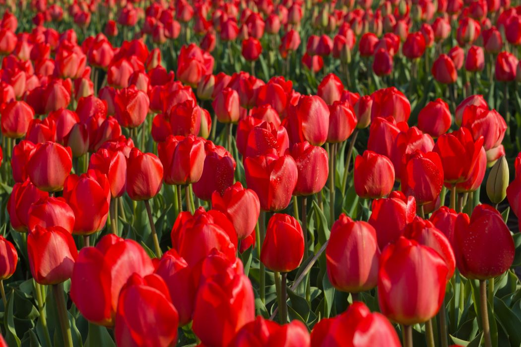 Tulips Fields Sea of flowers Red Flowers wallpaper