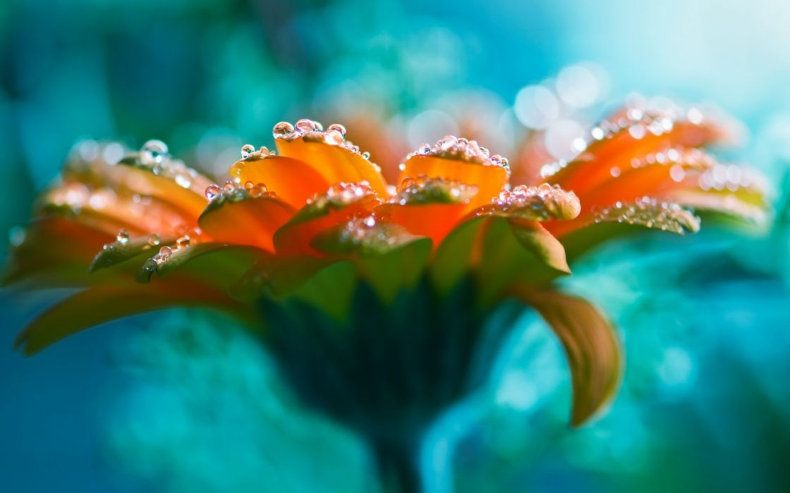 water drops bright flower beautiful rose lucid flower wallpaper