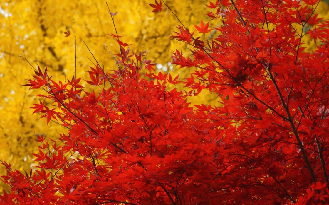 autumn  trees  crown  leaves  yellow  red  maple wallpaper