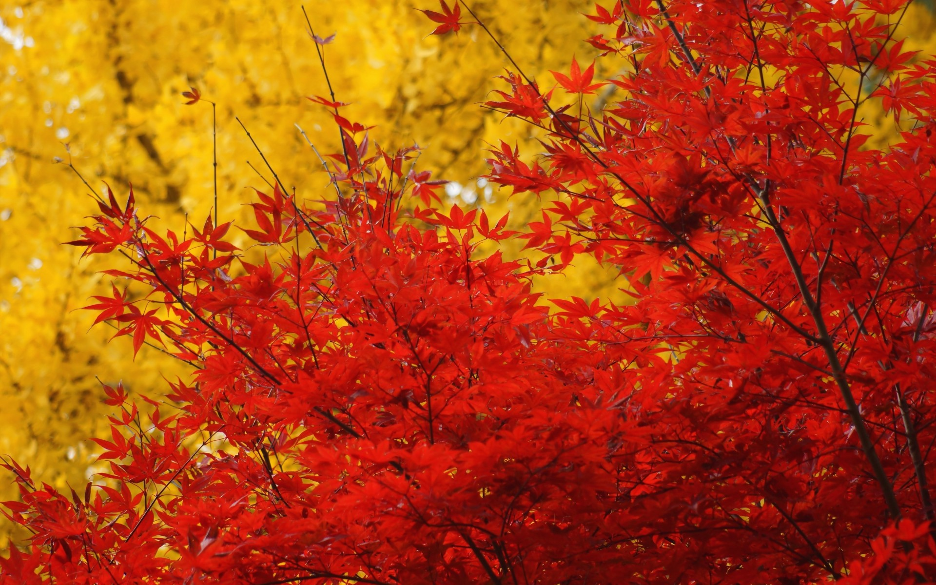 Autumn trees crown leaves yellow red maple wallpaper ...