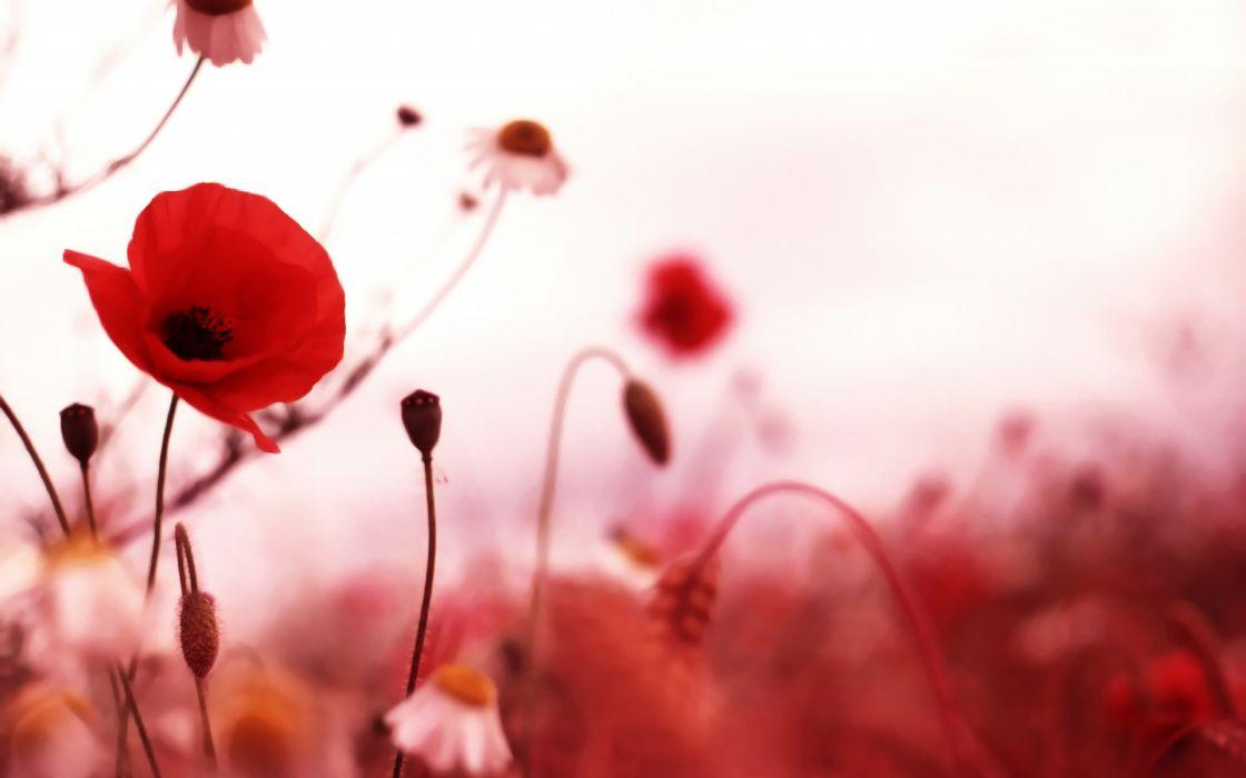 Poppies red flowers field wallpaper
