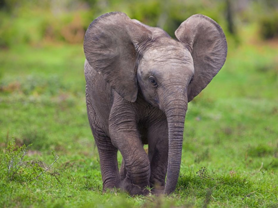 Baby Elephant wallpaper