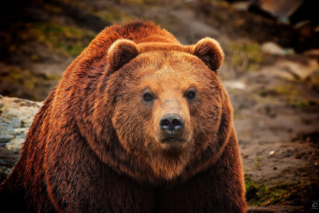 Bears Brown Glance Animals bear wallpaper