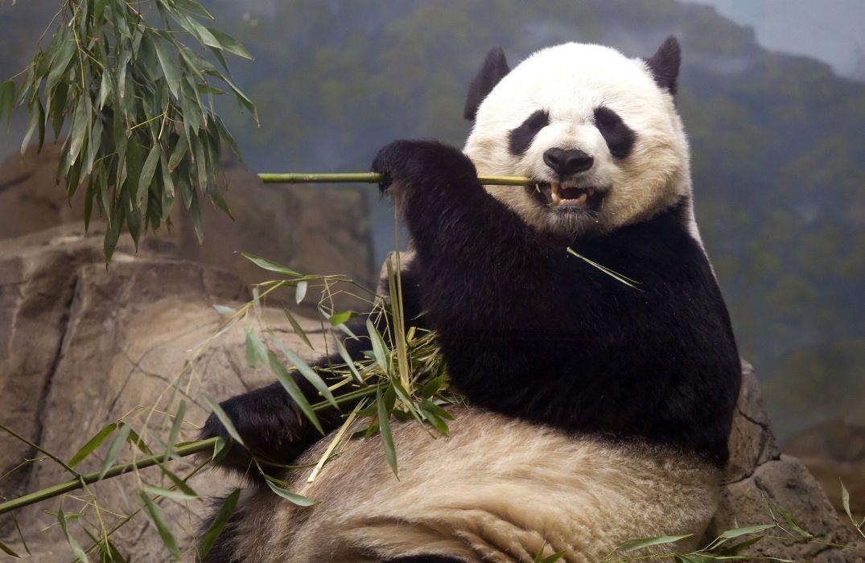 Bears Pandas Animals bear panda wallpaper