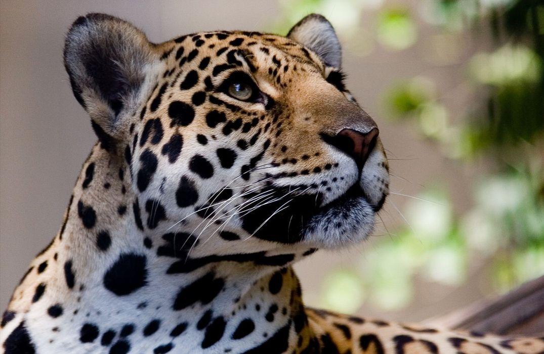 Big cats Jaguars Glance Snout Animals Jaguar wallpaper