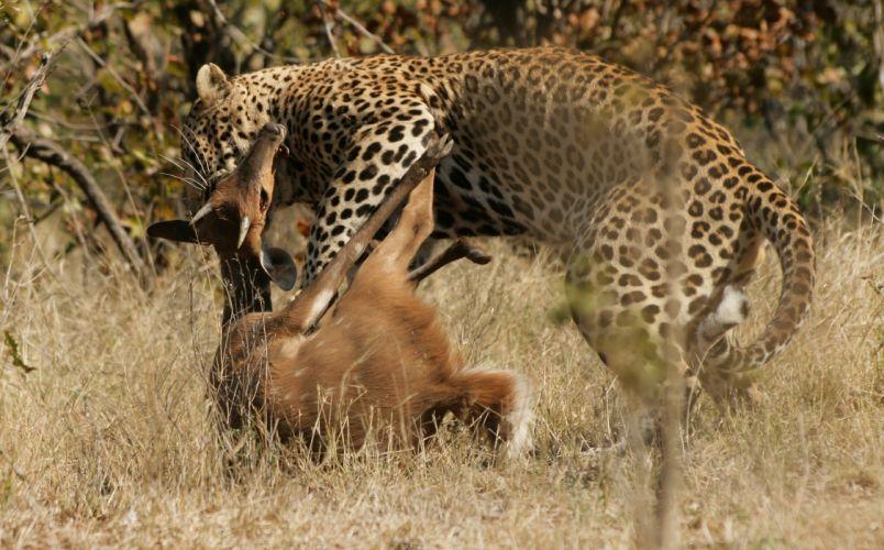 Big cats Leopards Animals wallpaper