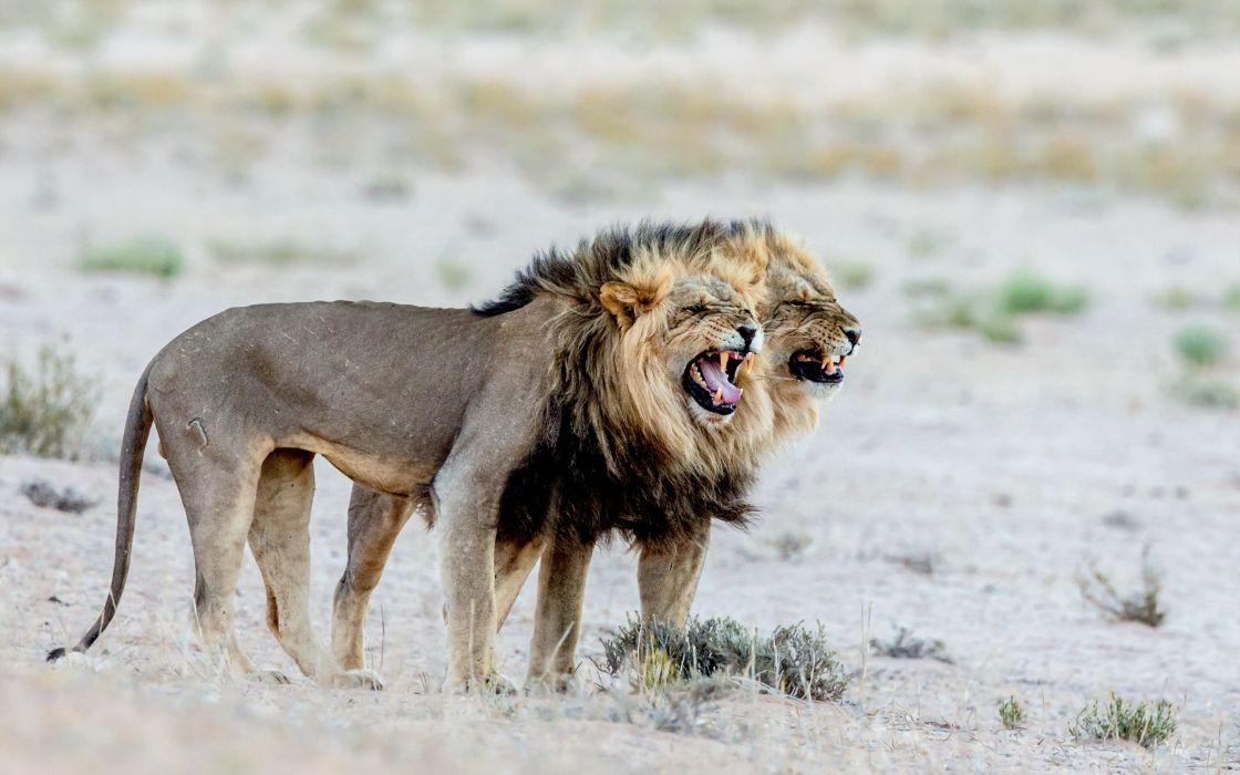 Big cats Lions Roar Animals lion wallpaper